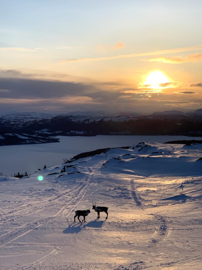 renar i solnedgång